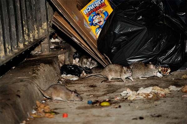 evitar una plaga de ratas