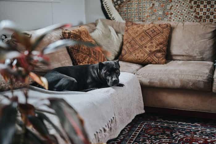 Un perro en un sofá limpio y desinfectado